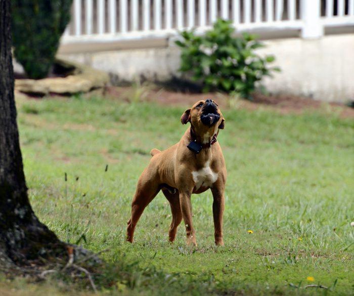 איך מאלפים כלב להפחית את הנביחות הטורדניות